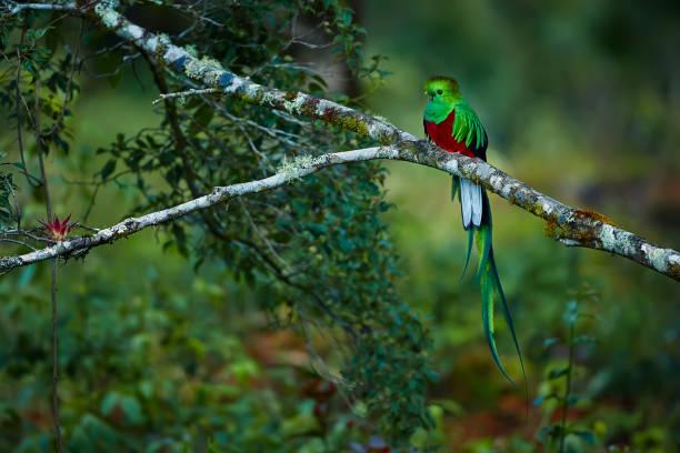 Resplendent Quetzal, Pharomachrus mocinno. Green bird from Costa Rica. Bird with long tail. Wildlife scene from rain forest. stock photo