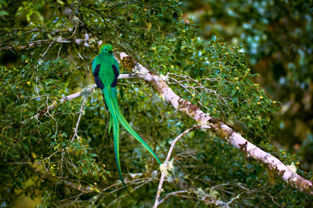 Resplendent Quetzal, Pharomachrus mocinno. Green bird from Costa Rica. Bird with long tail. stock photo
