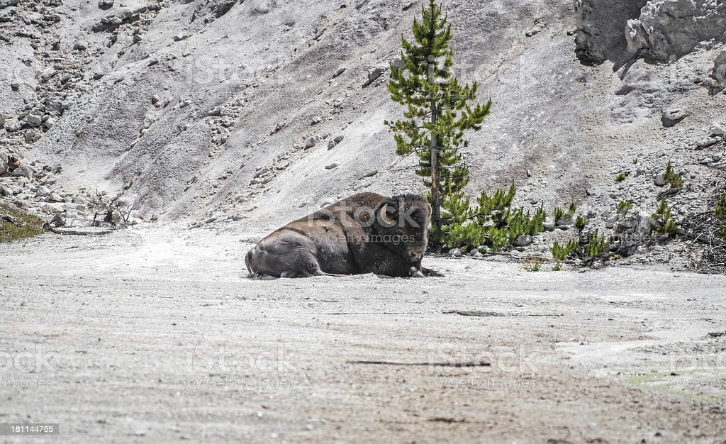 Resting Baffalo In Yellowstone National Park stock photo