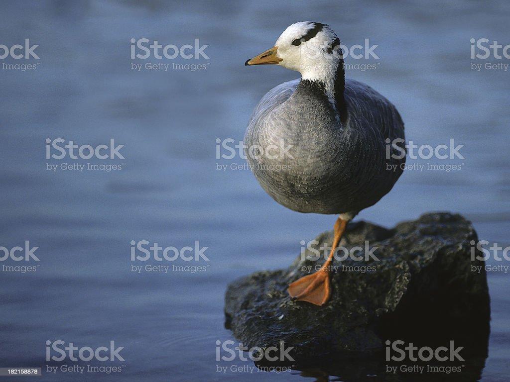 Resting Bar-Headed Goose stock photo