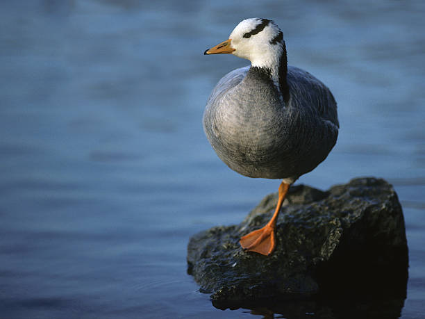Resting Bar-Headed Goose stock photo