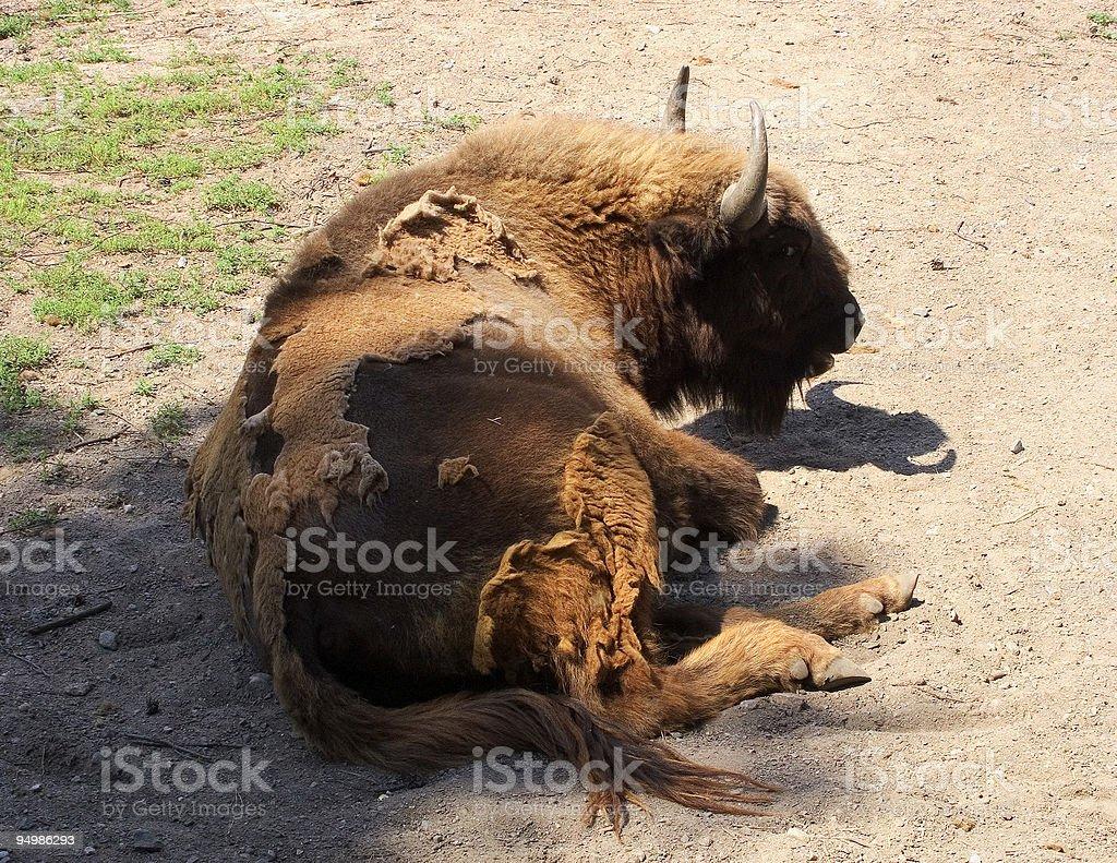 Resting bison stock photo