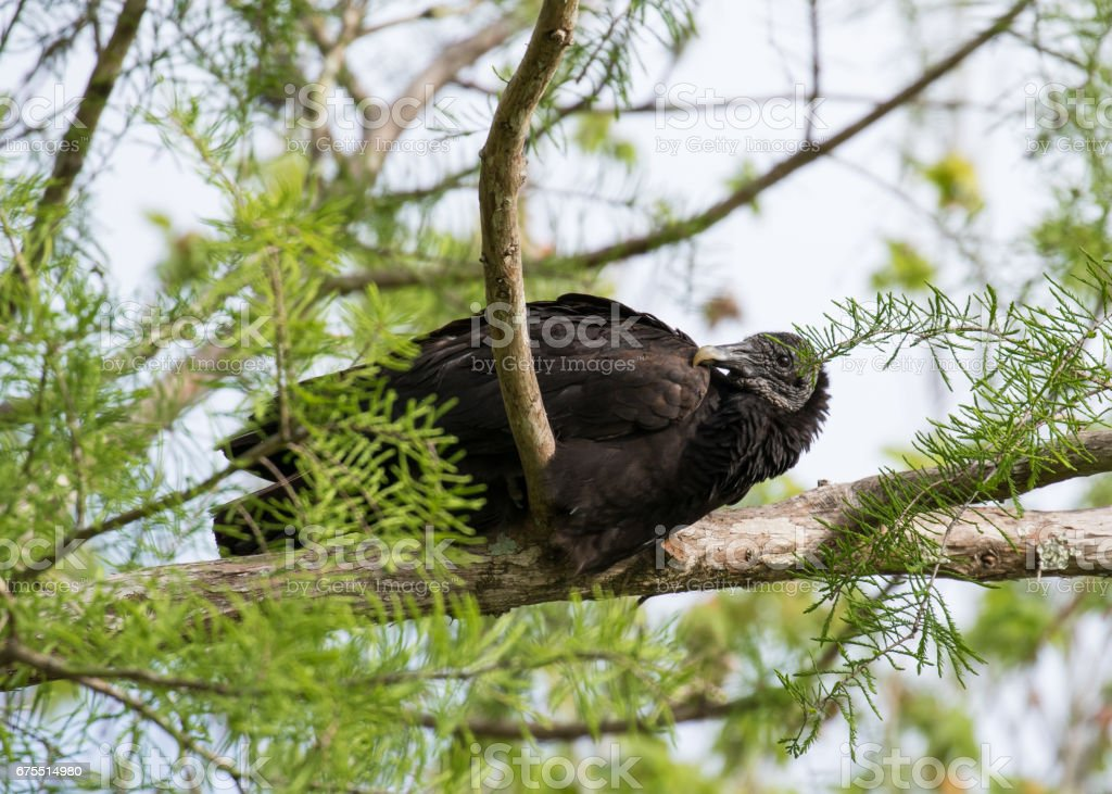 Resting Black Vulture royalty-free stock photo