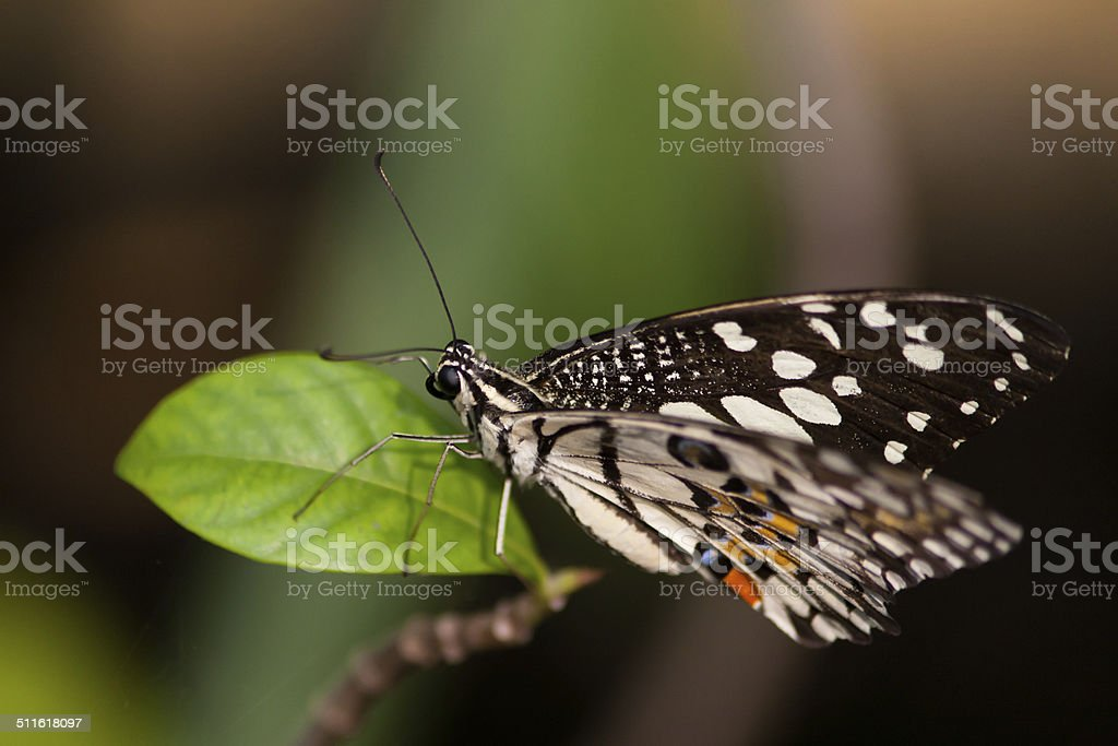 Resting butterfly stock photo