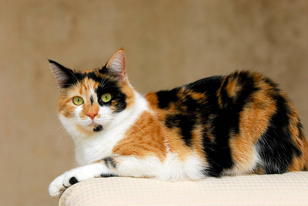 Resting Calico Cat calico cat sitting on the arm of the sofa. Full body profile. tortoiseshell cat stock pictures, royalty-free photos & images