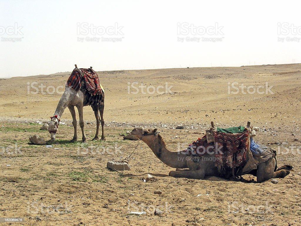 Resting Camels - Giza, Egypt stock photo