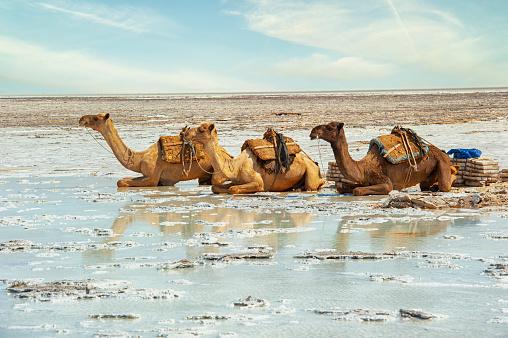 Resting camels in the Danakil desert, Ethiopia
