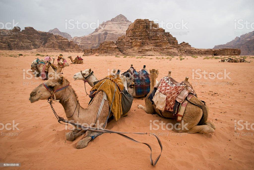 Resting camels, Wadi Rum desert, Jordan stock photo