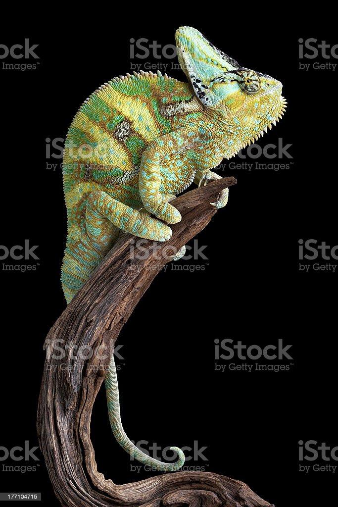 Resting Chameleon stock photo