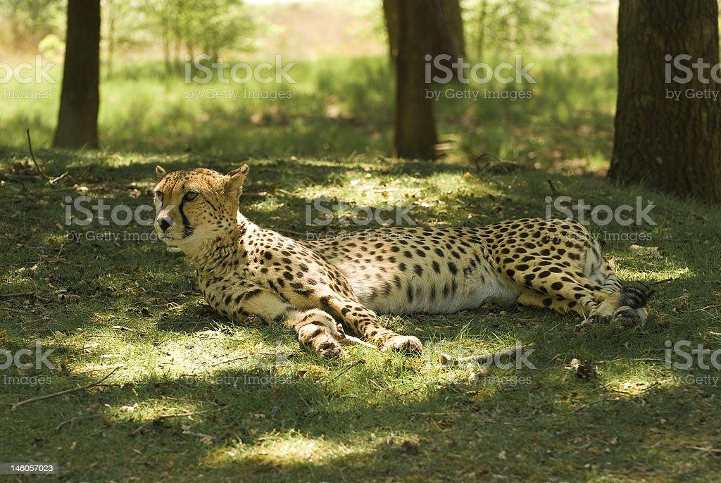Resting Cheetah (Acinonyx Jubatus) stock photo