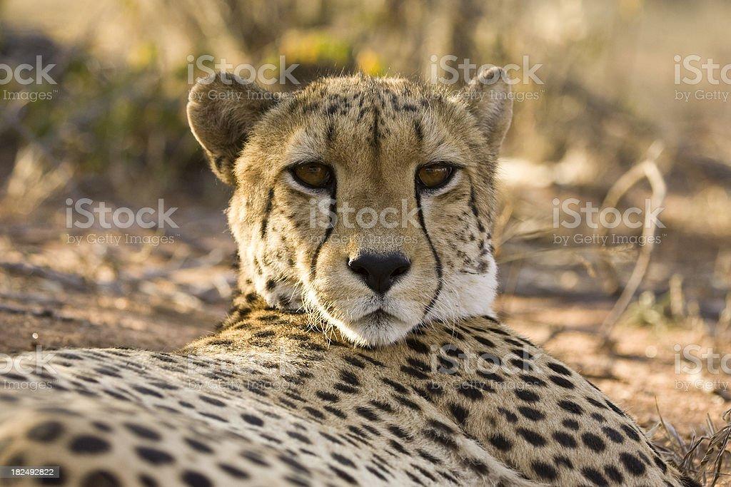 Resting Cheetah royalty-free stock photo