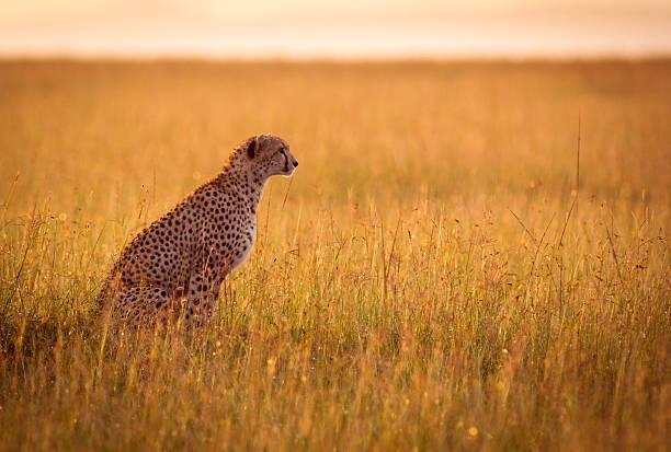 ruhen gepard - flecktarn stock-fotos und bilder
