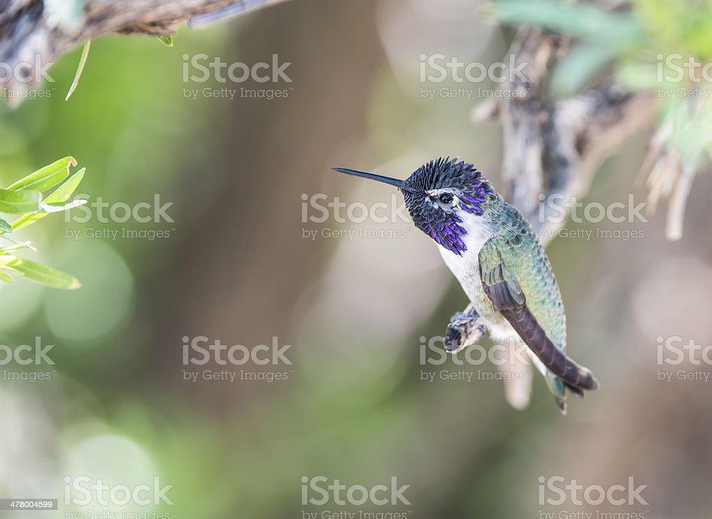 Resting Costas Hummingbird royalty-free stock photo