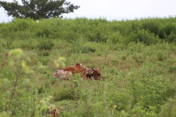 Resting Cow in Ethiopia stock photo