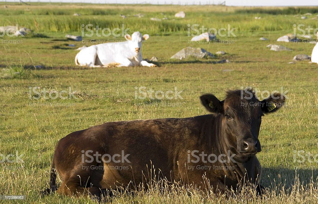 Resting cows royalty-free stock photo