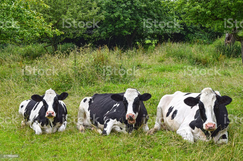 Resting cowson a green meadow stock photo