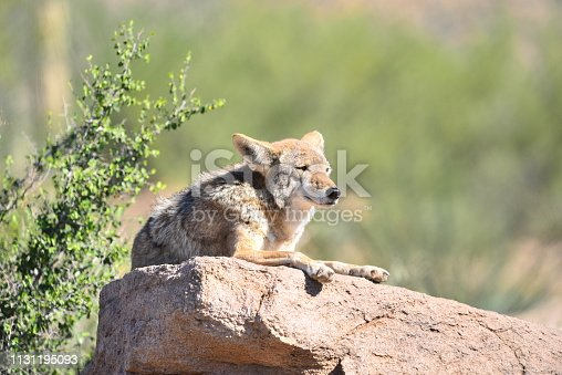 A coyote rests on a rock outcropping in Saguaro National Park.