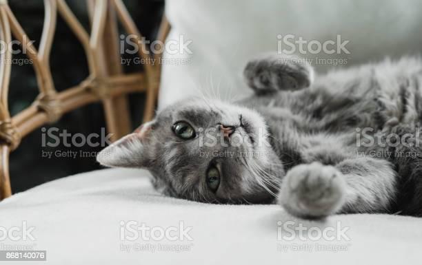 Resting cute grey cat at home picture id868140076?b=1&k=6&m=868140076&s=612x612&h=glxfawr51fut1g4qdmyai3oa1etn rhfv6 i3skppjs=