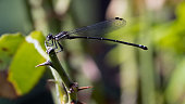 Lovely Ebony Jewelwing Damselfly resting on a Reed. Photographed at Walney Pond, Ellanor C Lawrence Park, Fairfax County, Virginia.