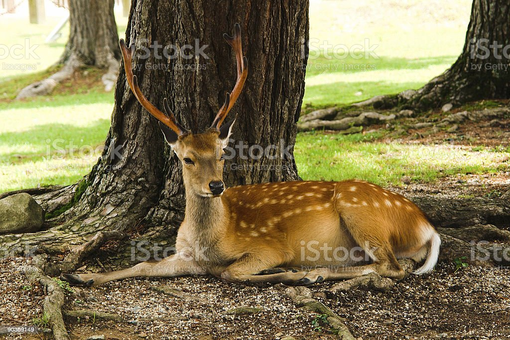 Resting deer stock photo