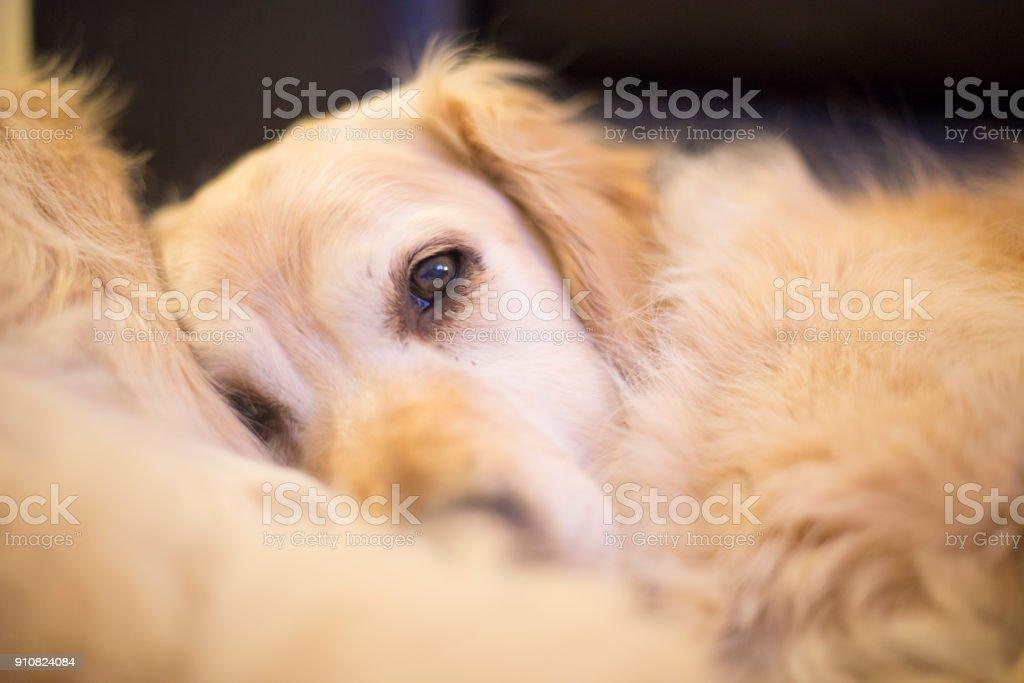 golden retriever resting at nighttime indoor in winter
