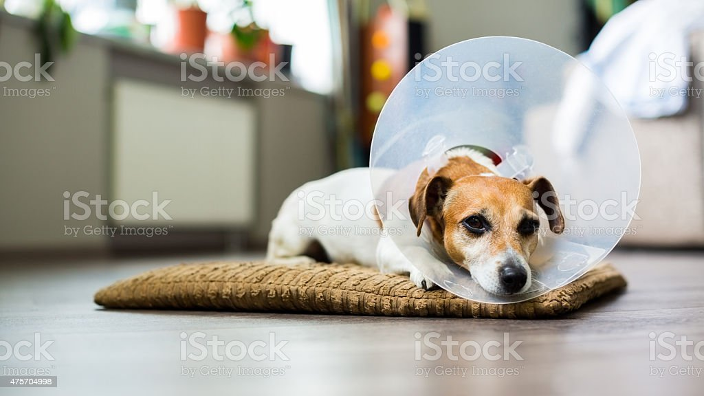 resting dog with Collar stock photo