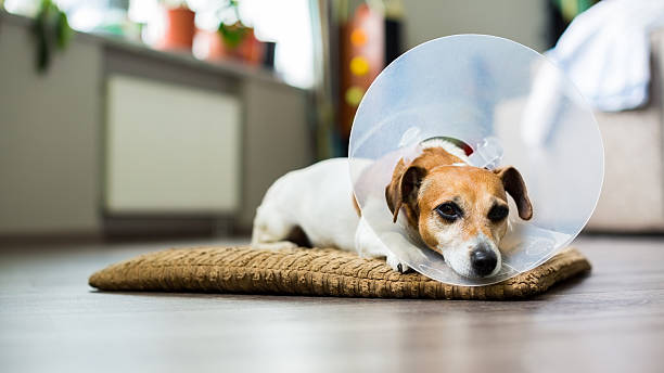 resting dog with Collar Beautiful dog Jack Russell terrier lying on a bed sick with vet Elizabethan collar cone shape stock pictures, royalty-free photos & images