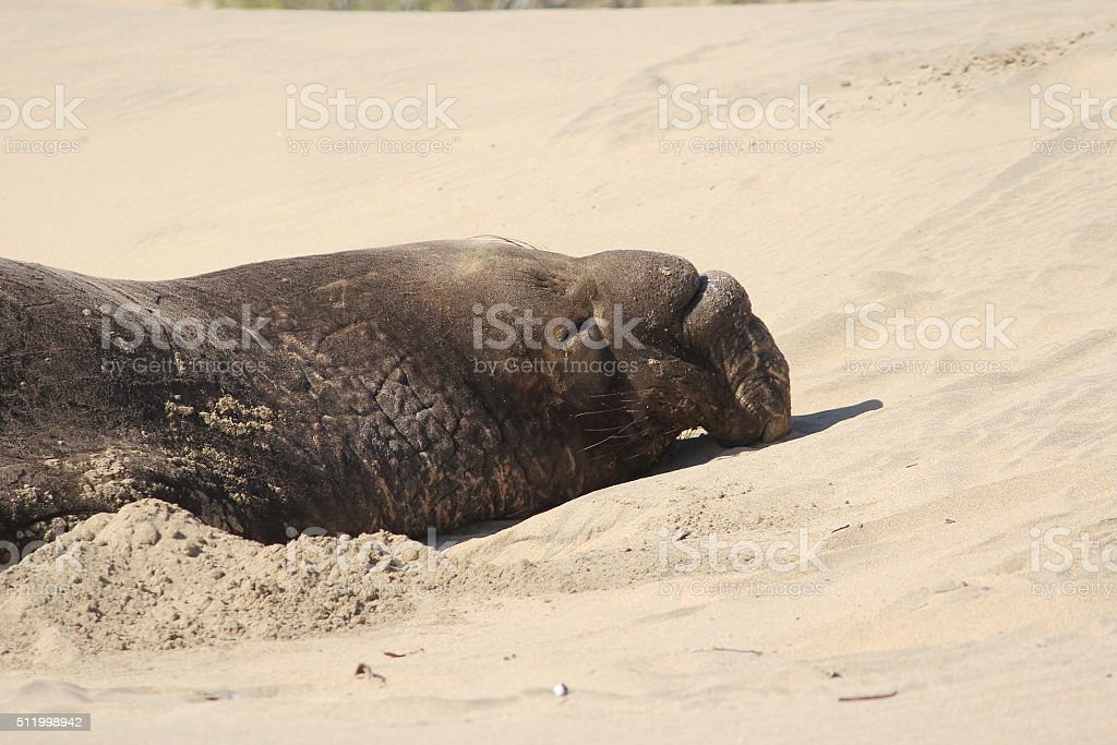 Resting elephant seal on the California coast. stock photo