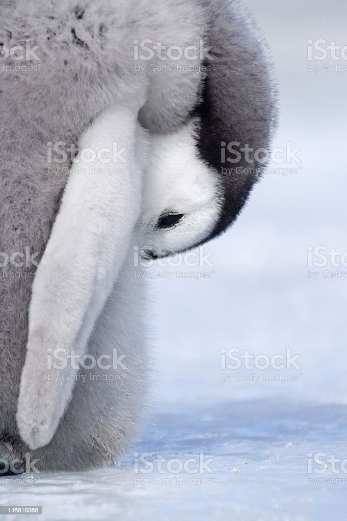 Resting Emperor Penguin Chick stock photo