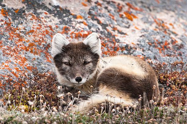 descansar mulher raposa ártica - raposa ártica imagens e fotografias de stock