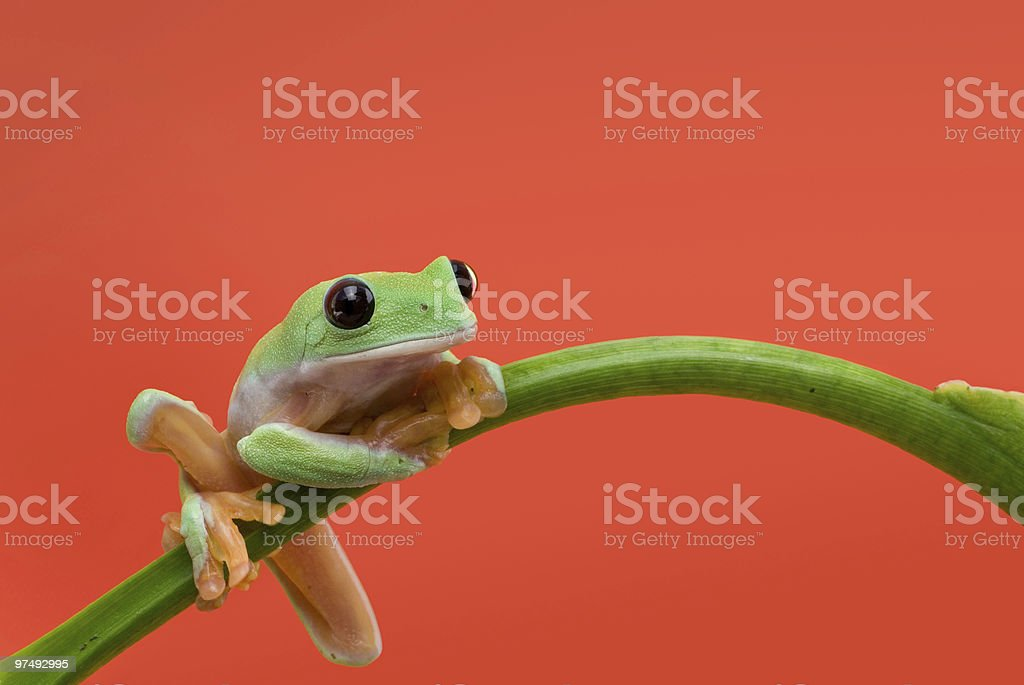 Resting frog royalty-free stock photo
