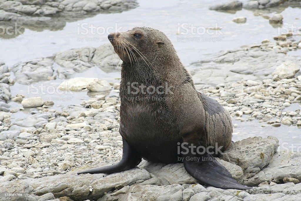 Resting fur seal stock photo