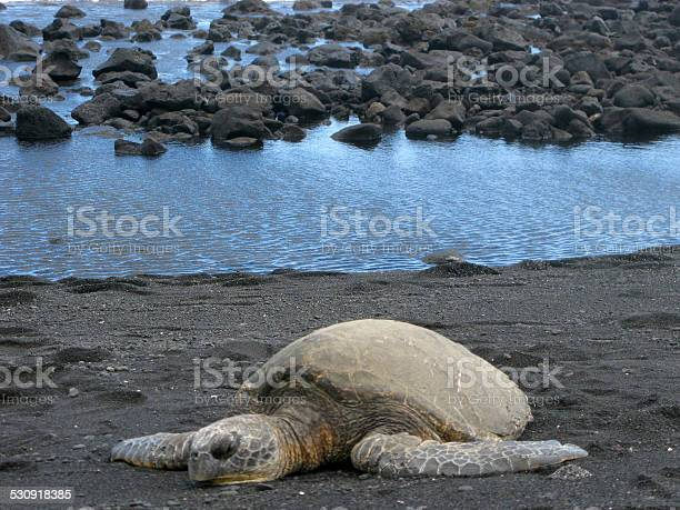 Resting giant tortoise on black sand volcanic beach hawaii picture id530918385?b=1&k=6&m=530918385&s=612x612&h=5eh37dprbvs4fnyzrwk ewyqyfoaeif9scefypwrqfm=