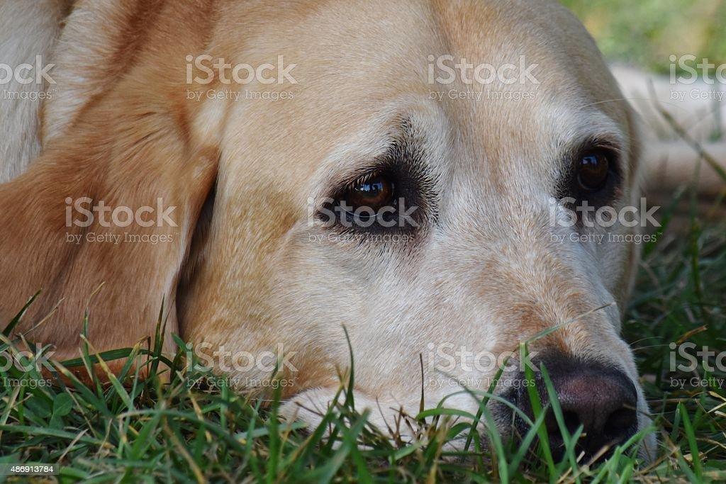 Resting Golden stock photo