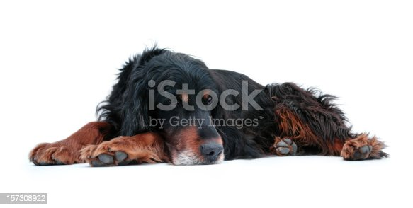 Hunting dog isolated on white. See my similar photos here: