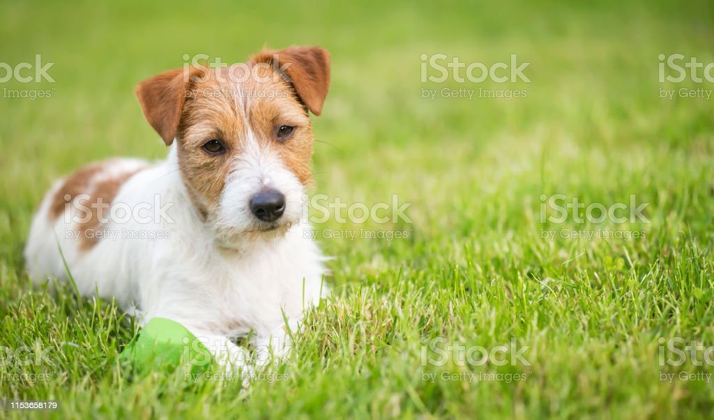 Lazy resting happy pet dog puppy laying in the grass, web banner,...