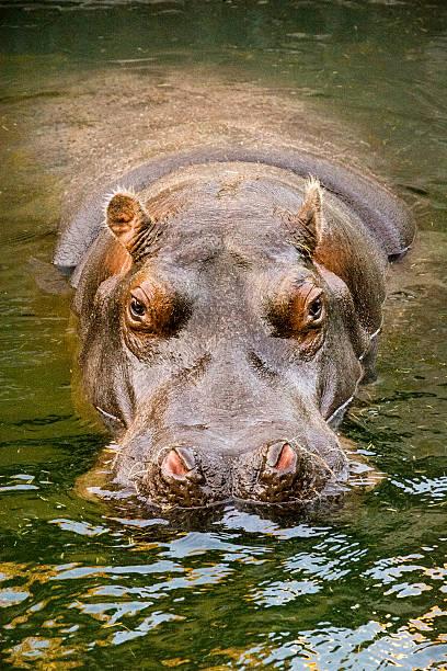 Resting hippo stock photo