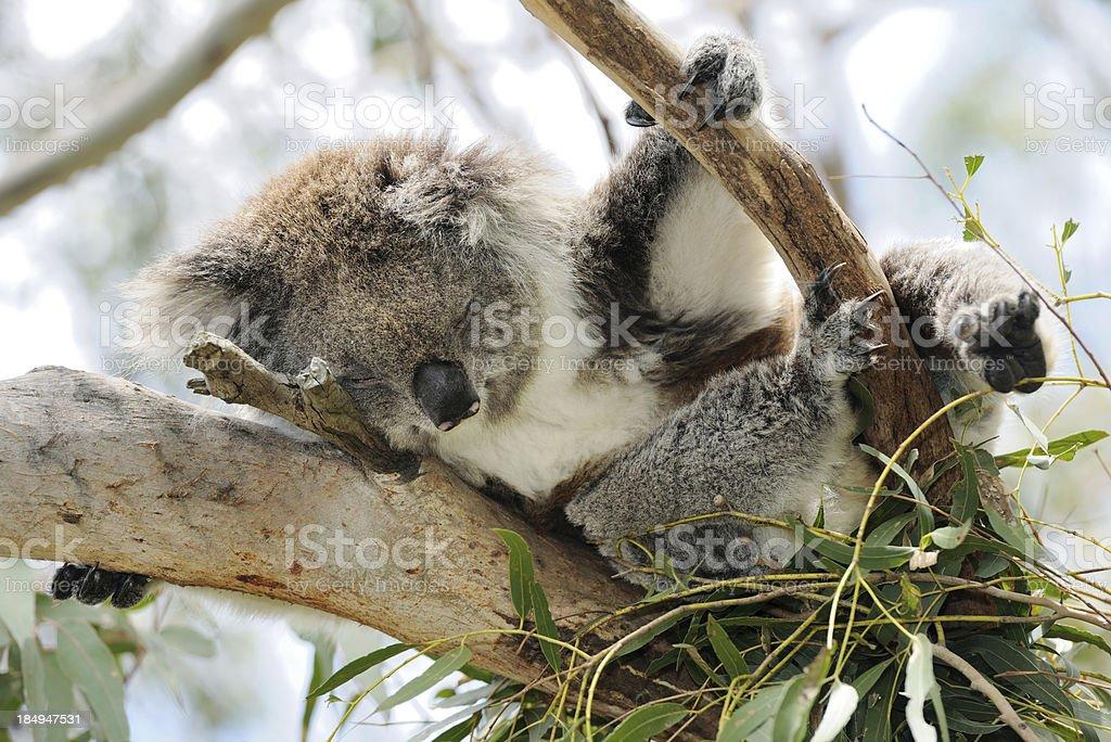 Resting Koala in wildlife (XXXL) stock photo
