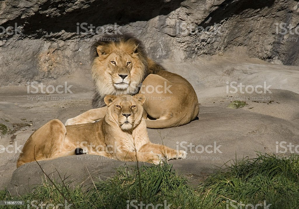Resting Lions royalty-free stock photo