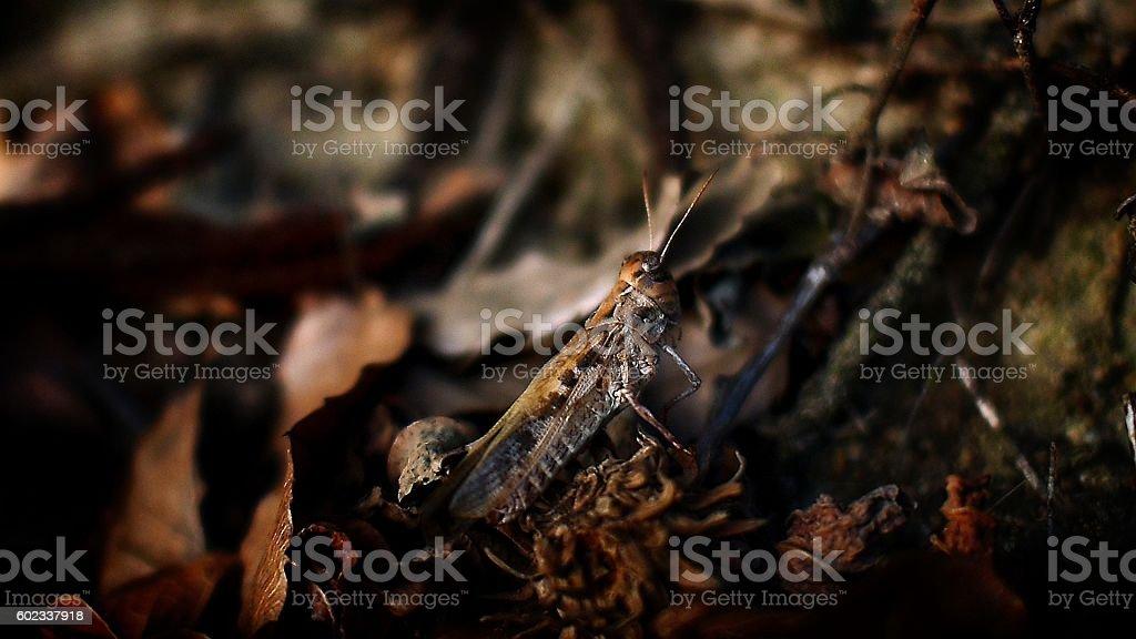 resting Locusta migratoria stock photo