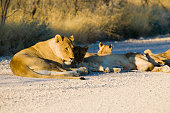 Lion watching out for his herd, Etosha National Park, Namibia
