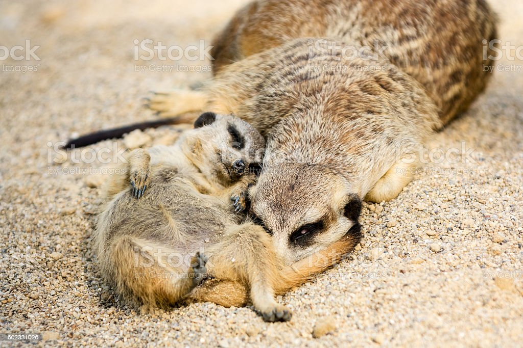 Resting meerkat mother with her cub on sand stock photo
