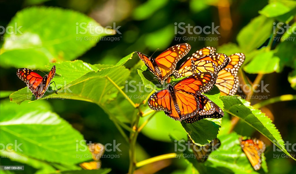 Resting monarchs stock photo