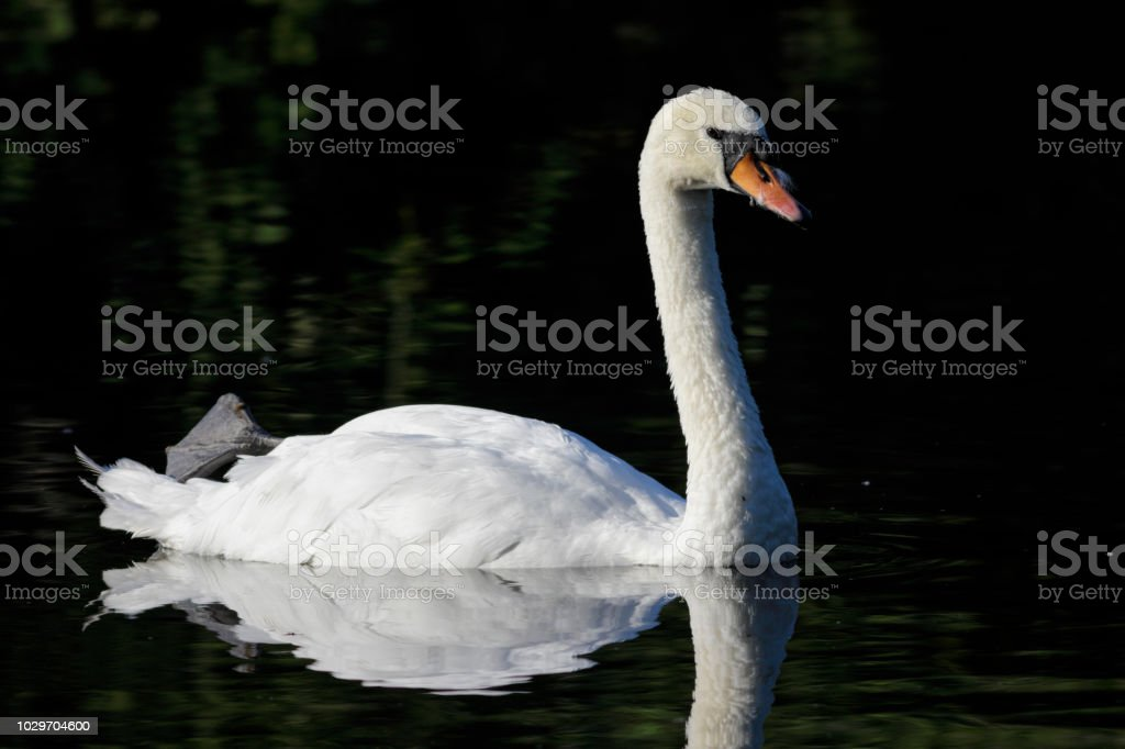 Resting mute swan floating reflected on Mitcham Pond stock photo