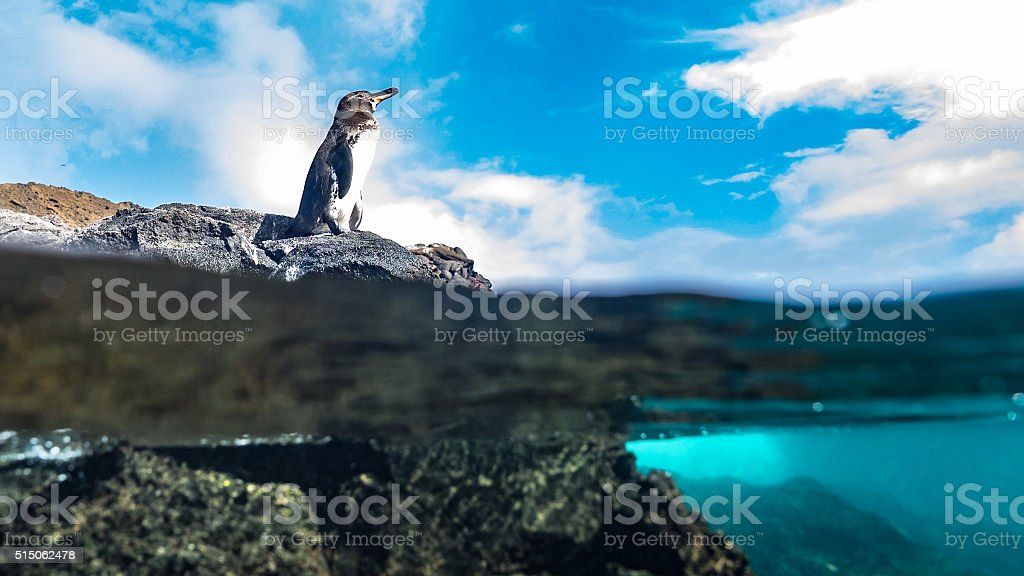 Resting on a rock, a Galápagos penguin views the ocean stock photo