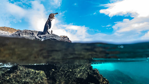 Resting on a rock, a Galápagos penguin views the ocean stock photo