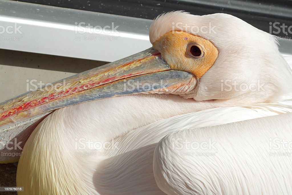 resting pelican stock photo