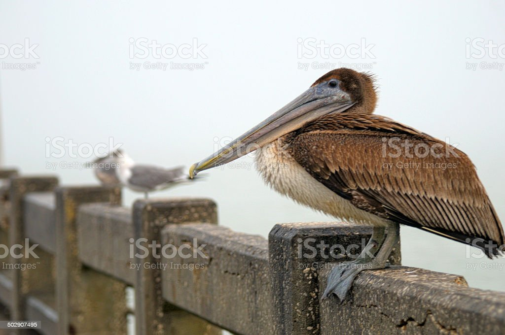Resting Pelican royalty-free stock photo