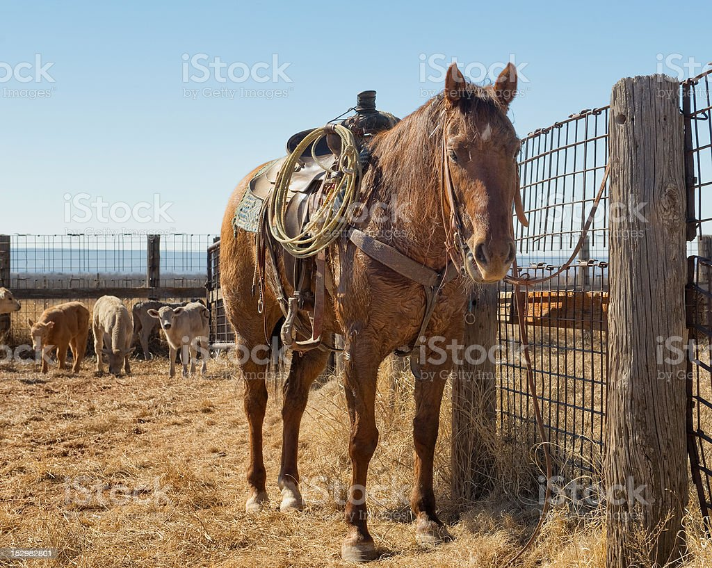 Resting quarter-horse during roundup stock photo