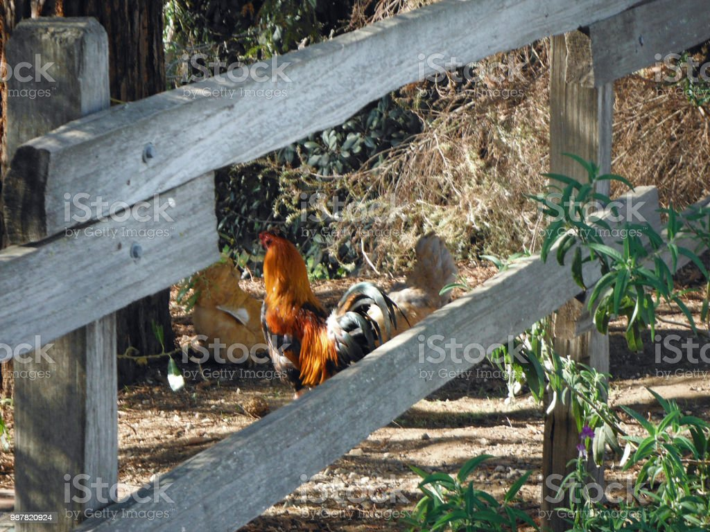 Resting Roosters stock photo